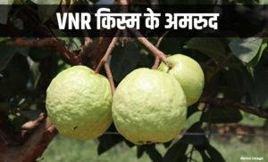 vnr variety guava amrud