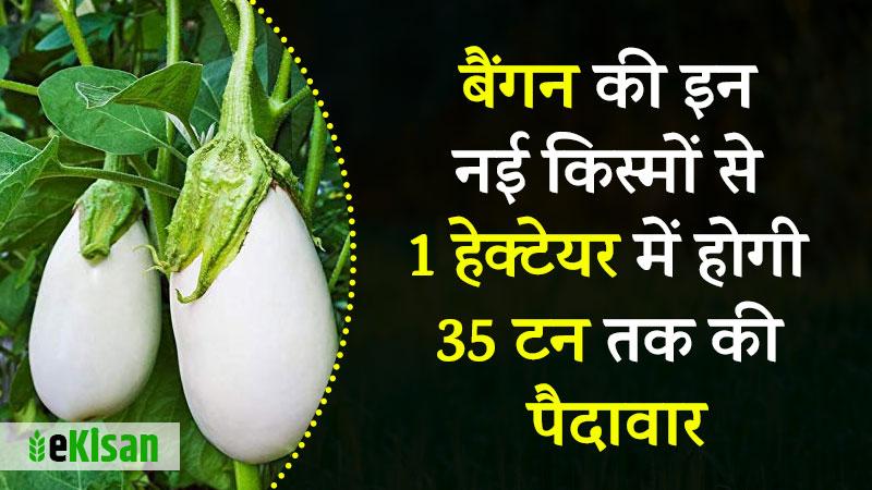 बैंगन bengan brinjal new variety pusa 1 white